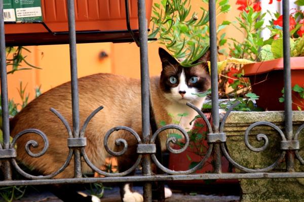 chat yeux bleus